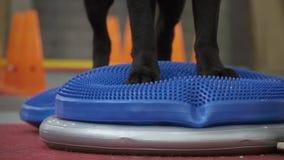 Addestramento di cani per tenere equilibrio alla piattaforma speciale video d archivio