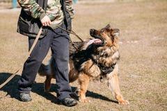 Addestramento di On Obedience Dog del pastore tedesco Wolf Dog alsaziano Fotografia Stock