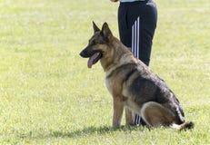 Addestramento di In Police K-9 del pastore tedesco fotografia stock libera da diritti