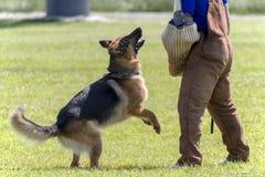 Addestramento di polizia di In K-9 del pastore tedesco fotografia stock