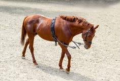Addestramento marrone potente del cavallo all'allenamento sistematico quotidiano prima del ch Immagini Stock Libere da Diritti
