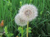 Close up of dandelions Taraxacum in the green grass. In addition to a nice spring flower it is also used for medical purposes, the above-ground part cold Stock Photos