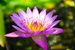 The Lotus is also a representative of the religion and the enlightened. In addition to the 5 types of flowers the other flowers also considered auspicious Stock Photography