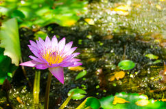The Lotus flower is a symbol of purity. In addition to the 5 types of flowers the other flowers also considered auspicious according to Feng Shui principles Stock Image