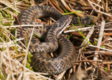 Additionneur (berus de Vipera) Photo stock