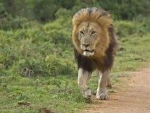 addo狮子最初 免版税库存图片