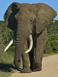 Addo Bull Elefant Lizenzfreies Stockfoto