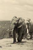 Addo Bull-Elefant mit Knaben Lizenzfreie Stockfotografie