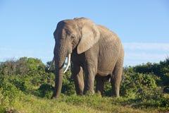 Addo Elephant Lizenzfreie Stockfotos