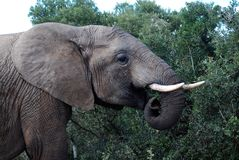 Addo Elephant grazing Royalty Free Stock Photography