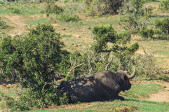 Addo elephant national park,eastern cape,South africa Stock Images