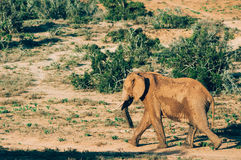 Addo elephant national park,eastern cape,South africa Stock Photography
