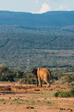 Addo elephant national park,eastern cape,South africa Royalty Free Stock Photo