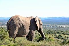Addo Elephant Park Resident Royalty-vrije Stock Foto
