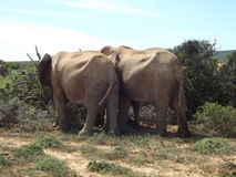 Addo Elephant Park, Sudafrica fotografia stock libera da diritti
