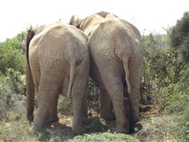 Addo Elephant Park, Sudafrica immagini stock