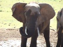 Addo Elephantpark, Южная Африка Стоковая Фотография RF