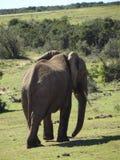 Addo Elephantpark, Южная Африка Стоковая Фотография
