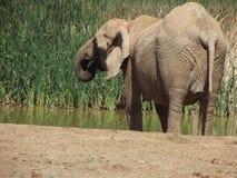Addo Elephantpark, Южная Африка Стоковое Фото