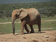 Addo Elephantpark, Sudafrica fotografia stock libera da diritti