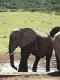 Addo Elephantpark, Zuid-Afrika Stock Foto