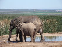 Addo Elephantpark, Zuid-Afrika Royalty-vrije Stock Afbeelding