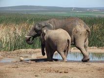 Addo Elephantpark, Zuid-Afrika Stock Afbeelding