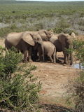 Addo Elephantpark, Zuid-Afrika Stock Fotografie