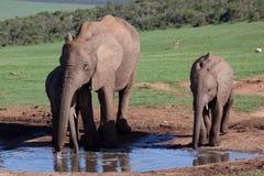 Addo Elephants. Elephant Adult and 2 calves at the Addo Elephant Park Stock Photos