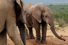 Addo Elephants no furo molhando fotografia de stock royalty free