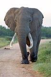 Addo König Elephant Lizenzfreie Stockfotos