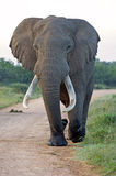 Addo King Elephant Royalty Free Stock Photos
