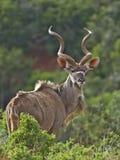 Addo Kudu Lizenzfreie Stockbilder