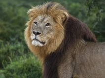 Addo Lion Tsama Stock Photography