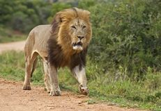 Addo Male Lion royalty free stock photos