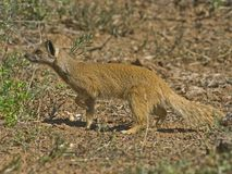 Addo Mongoose. A typical Mongoose is a brave killer of poisonous snakes Royalty Free Stock Photo