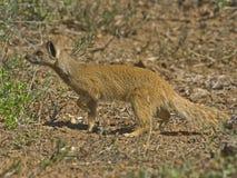 Addo Mongoose Royalty Free Stock Photo