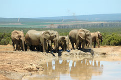 Addo National Elephant Park, South Africa. A herd of African elephants playing at a water hole in the Addo National Elephant Park, Eastern Cape, South Africa stock images