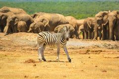 Addo NP Südafrika Lizenzfreie Stockbilder