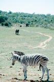 Addo słonia park narodowy, wschodni przylądek, Południowy Africa Zdjęcia Stock