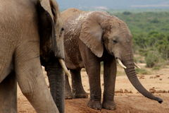 Addo słonie przy podlewanie dziurą Fotografia Royalty Free