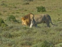 Addo's Kalahari Royalty Free Stock Photography
