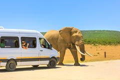 Africa Safari Tour. Addo, South Africa - January 3,2014: Tourist woman photograph an African Elephant from a tour bus in Addo Elephant Park in South Africa Royalty Free Stock Image