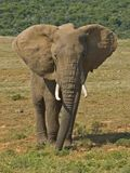 Addo Testy Bull ellie. Lone Elephant Bulls can be bad tempered royalty free stock photography