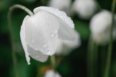 Addolcisca l'anemone bianco in gocce di pioggia con l'umore scuro capo- languido Fotografia Stock