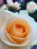 Addolcisca la rosa di amore Immagini Stock Libere da Diritti