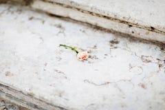 Addolcisca rosa sui sairs di marmo Immagine Stock Libera da Diritti