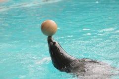 Addomesticated海狮 免版税图库摄影