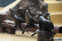 Addomesticated Sea Lion Royalty Free Stock Photo