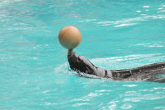 Addomesticated Sea Lion Stock Image
